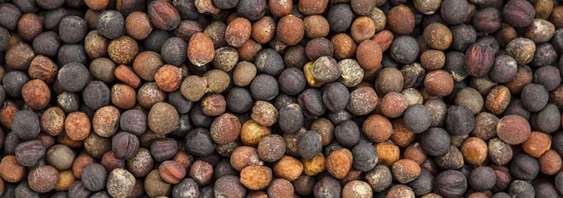 Broccoli Seeds – Organic Seed
